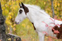 Piebald foal Stock Photo