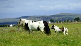 Piebald Foal and mum Stock Images
