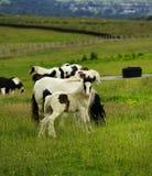 Piebald Foal Royalty Free Stock Photo