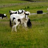 Piebald Foal watching Stock Image