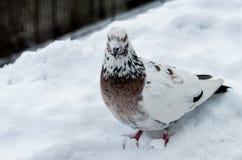 Piebald gołąb na Śnieżny Patrzeć kamera Obrazy Stock
