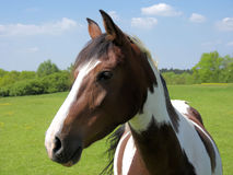 Piebald horse Stock Photos