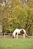 Piebald horse Royalty Free Stock Photo