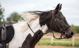 Piebald horse on arena Royalty Free Stock Photography