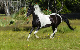 Piebald horse galloping royalty free stock image