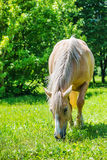 Piebald horse grazing Stock Photo