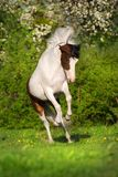 Piebald horse jump royalty free stock photography