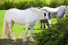 Piebald horse outside Royalty Free Stock Photography