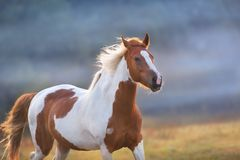 Red pinto horse run. Piebald horse run gallop on fog meadow royalty free stock photography