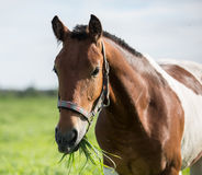Piebald horse in the summer pasture Stock Images