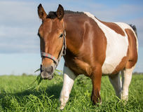 Piebald horse in the summer pasture Royalty Free Stock Photos