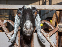 Piebald Nubian goat Stock Photography