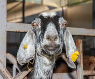 Piebald nubian goat Stock Photos