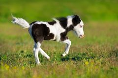 Piebald pony foal. Beautiful piebald pony foal run fast in green pasture Royalty Free Stock Image