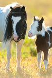 Piebald pony mare with foal Royalty Free Stock Image