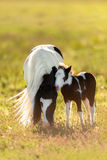 Piebald pony mare with foal Stock Photos
