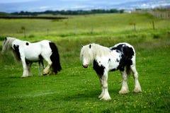 Piebald stallion Royalty Free Stock Photos