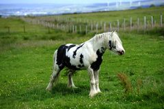 Piebald stallion weeing Royalty Free Stock Photography