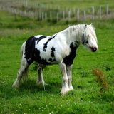 Piebald stallion weeing Royalty Free Stock Image