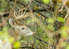 Piebald Whitetail Deer Buck Royalty Free Stock Photo