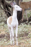 Piebald Whitetail fawn in vertical photograph Stock Photo