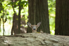 Piebald Whitetailed Deer Stock Images