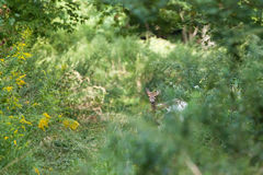 Piebald Whitetailed Deer Royalty Free Stock Photography
