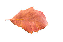 Piece of autumn leave withering in fall Stock Photo