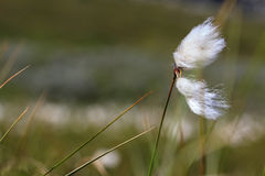 A piece of cotton grass blowing in the wind. Along the Kungsleden trail in Lapland North Sweden Stock Images