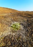Piece of cotton grass on dried earth. Green patch of cotton grass on the dry rocky hillside stock image