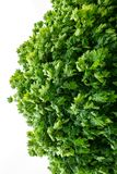 Piece of green maple crown on a white background Royalty Free Stock Photo