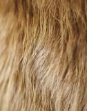 Golden Cow Hair Background. A piece of hide with golden hair for a background or detail use Stock Photography