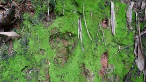 A piece of moss-laden soil royalty free stock image