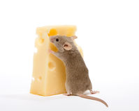 Free Piece Of Cheese Royalty Free Stock Photos - 7160148