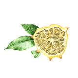 A piece of watercolor nods Cucumis melon fruit Stock Photo