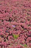 Pink flower in a field of sedum Stock Photography