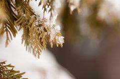 Pieces of ice on the branch. Of a thuja Stock Photo