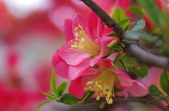 Chinese flowering crab-apple Stock Image