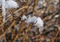 Snow on the twig. Pieces of snow stuck on the twig in winter Royalty Free Stock Photos