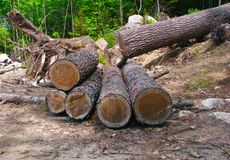 Tree cut in forest into logs carpentry builders building construction. Pieces of tree logs stacked with tree roots and rings showing logs logging lumber Stock Photos