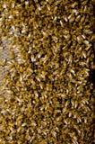pieczętujący pszczoły honeycomb Zdjęcia Royalty Free