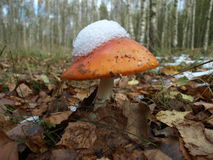Pieczarka i las przy środkową częścią Rosja Fotografia Royalty Free