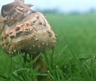 Pieczarka, muchomor, po ulewnych deszczów w Oklahoma mieście Fotografia Royalty Free