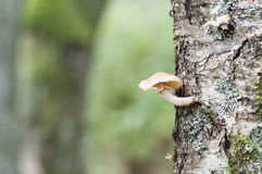 Pieczarka na drzewnym trzonie Zdjęcia Stock