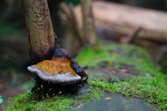 Pieczarka na nieżywym drzewie zdjęcia royalty free