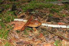 Pieczarka po deszczu Zdjęcia Stock
