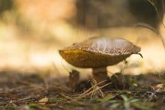 Pieczarka w jesień lesie Zdjęcia Royalty Free