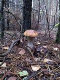 Pieczarka w lesie. Zdjęcie Royalty Free