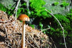 Pieczarka w lesie Obrazy Royalty Free