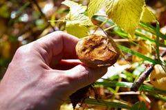 Pieczarka w lesie Fotografia Royalty Free